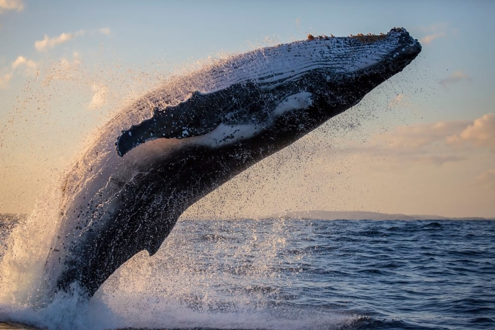 humback whale breaching in the sunset near Sydney Harbour