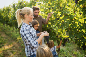 Family picking grapes in a vineyard.