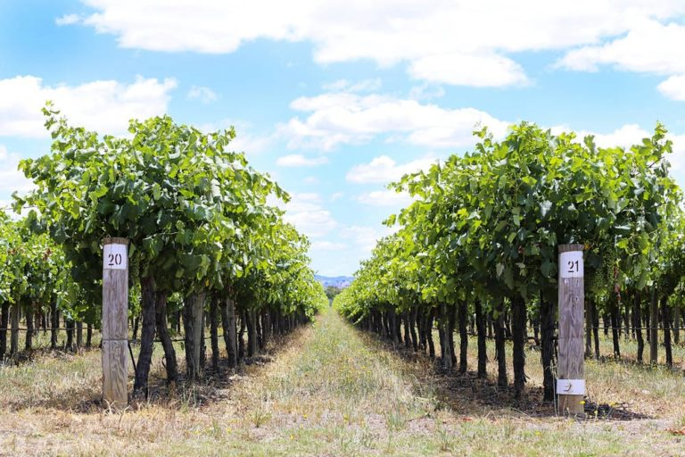 Looking down a row of grape vines in Mudgee, NSW
