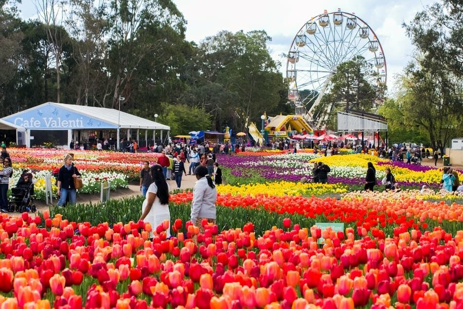 Fields of tulips with Ferris wheel in background at Canberra Floriade