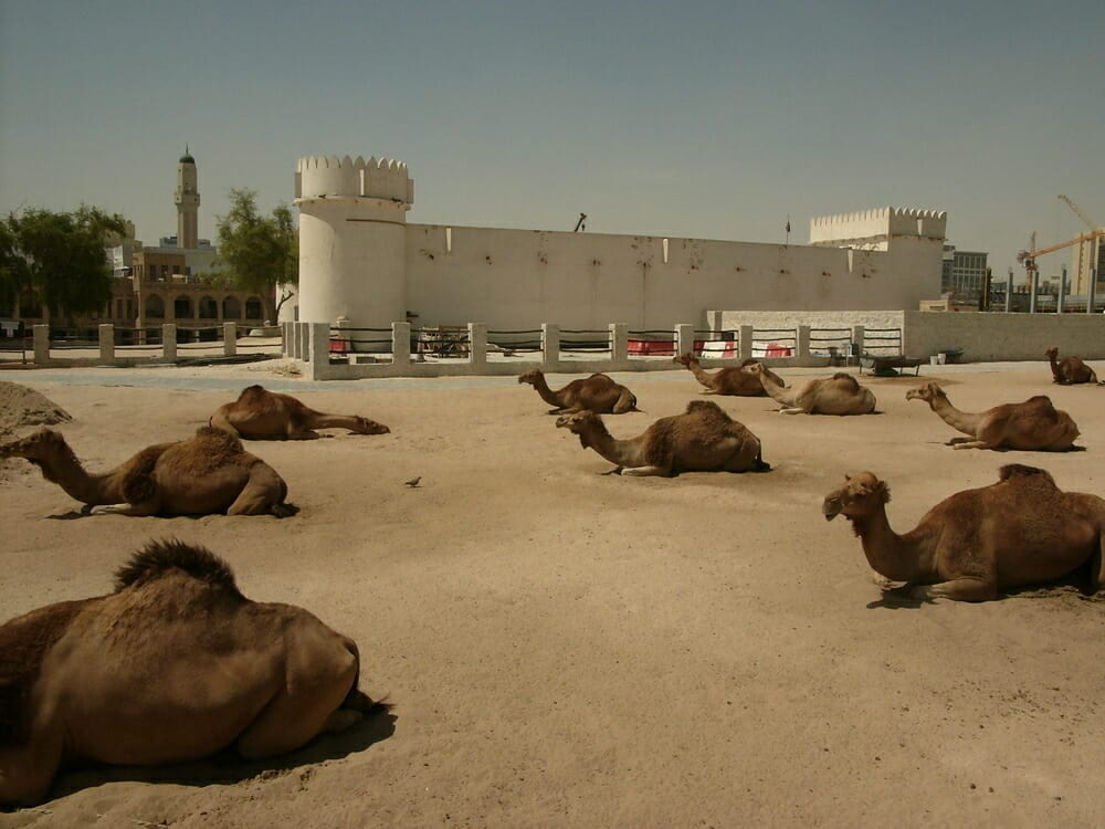 Rows of camels outside the white Doha fort