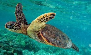Swimming with turtles in New Caledonia
