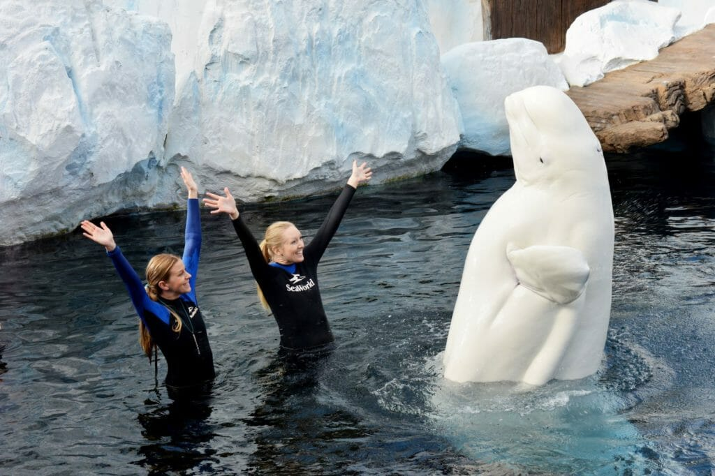 Wild Arctic includes encounters with beluga whales. Picture: Mike Aguilera / SeaWorld