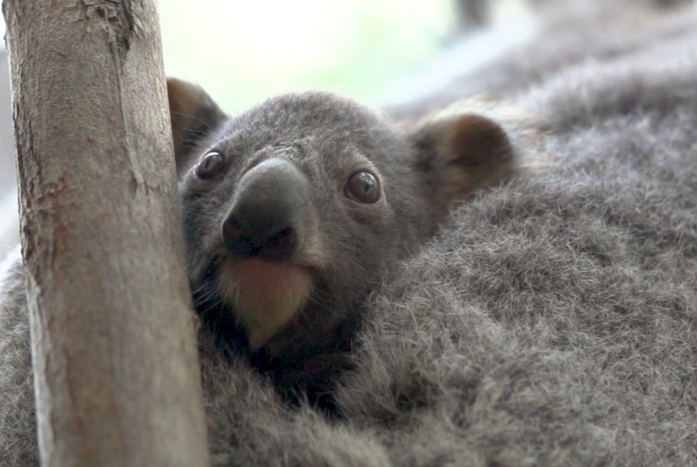 baby animals zoo koala Currumbin Wildlife Sanctuary