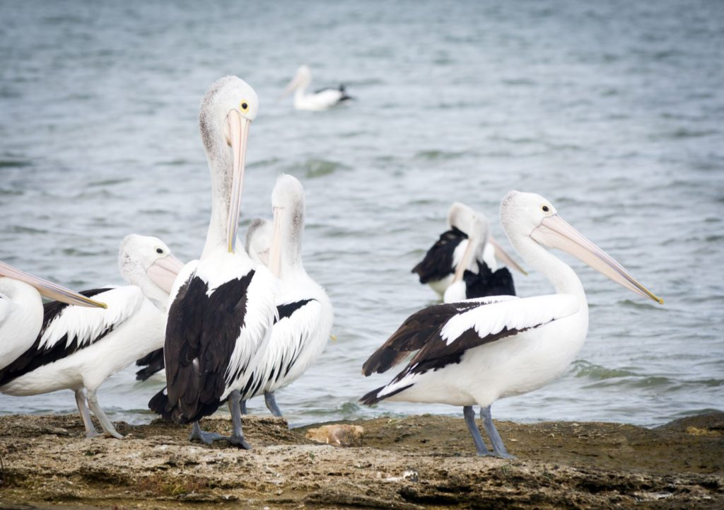 Pelican Coorong kayaking with kids Shutterstock